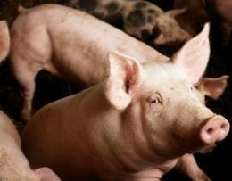 SwineFlu_pigs